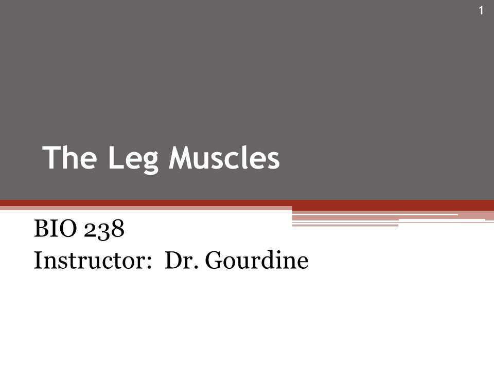 The Leg Muscles BIO 238 Instructor: Dr. Gourdine 1