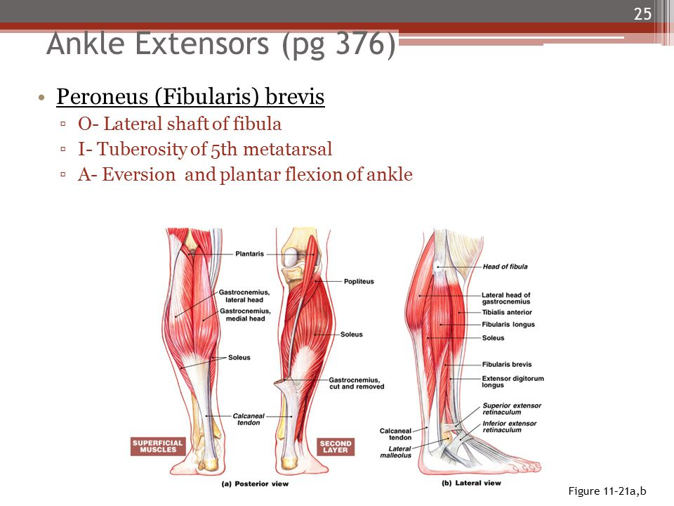 Ankle Extensors (pg 376) Peroneus (Fibularis) brevis ▫O- Lateral shaft of fibula ▫I- Tuberosity of 5th metatarsal ▫A- Eversion and plantar flexion of ankle 25 Figure 11–21a,b