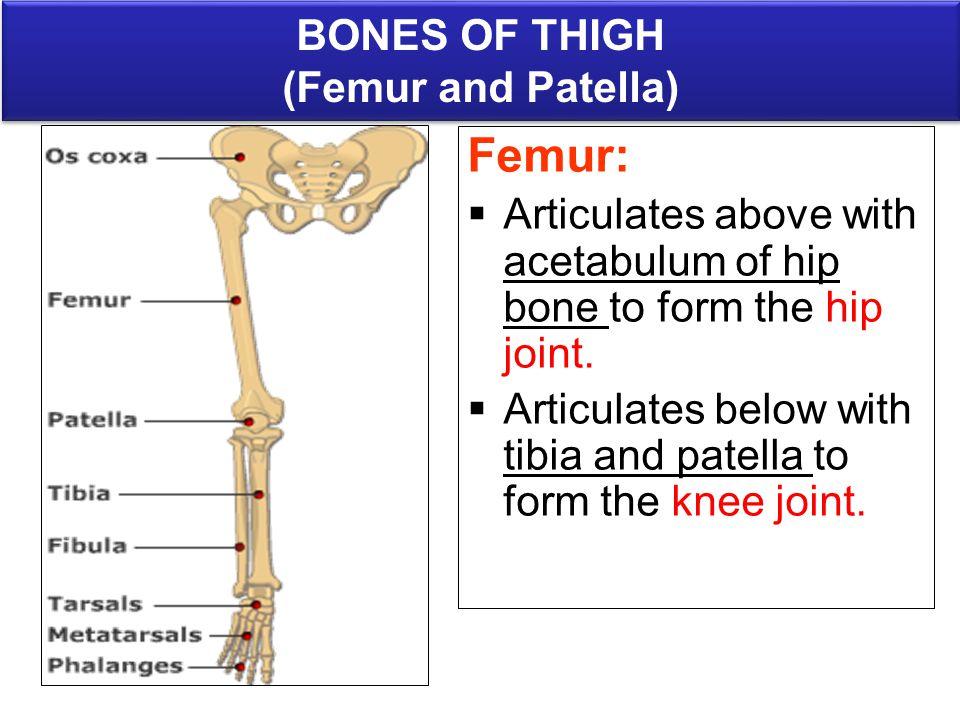 Bones Of Lower Limb Anatomy Department Drnaa Al Shaarawy Dr