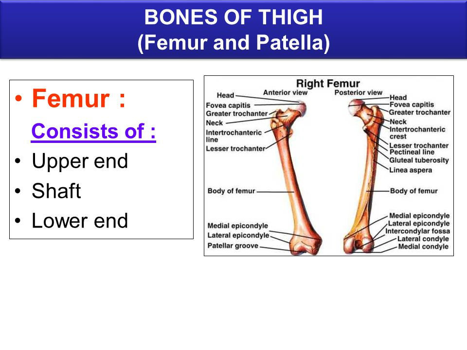 BONES OF LOWER LIMB ANATOMY DEPARTMENT DR.SANAA AL-SHAARAWY Dr ...