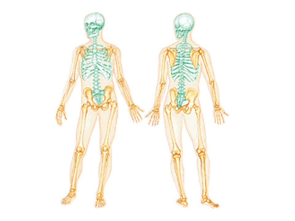 The Skeletal System Parts Of The Skeletal System Ppt Video Online