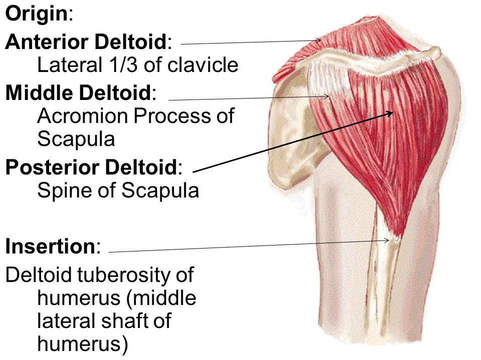 Deltoid. This muscle has a triangular shape like the Greek letter ...