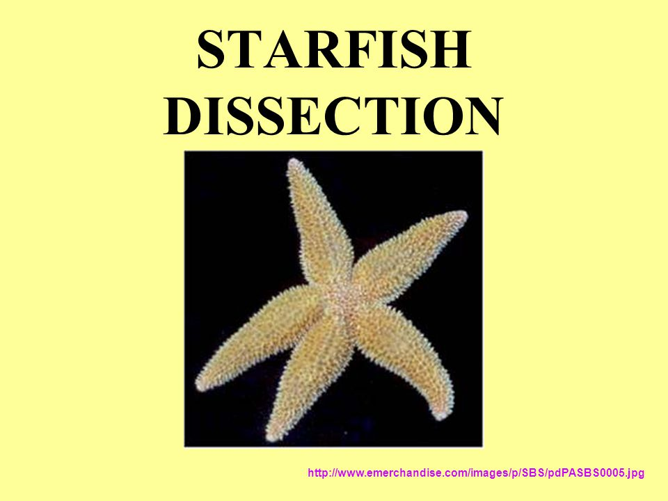 Starfish Dissection Ppt Download