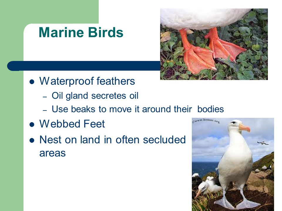Marine and Coastal Birds. External Anatomy of a Bird 1.Beak 2.Crown ...