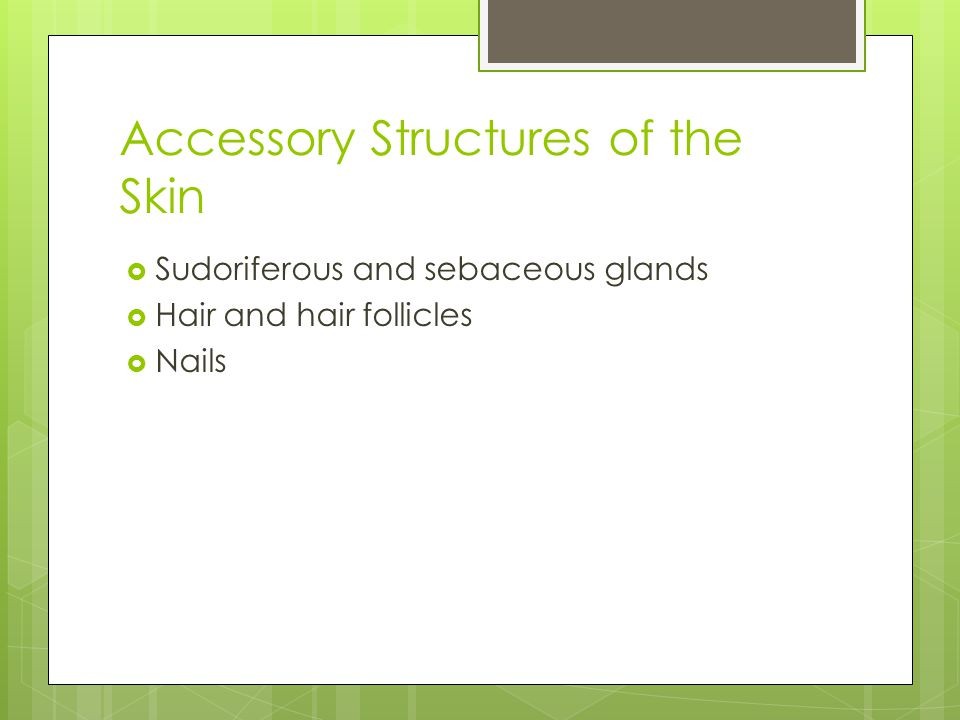 Accessory Structures of the Skin  Sudoriferous and sebaceous glands  Hair and hair follicles  Nails