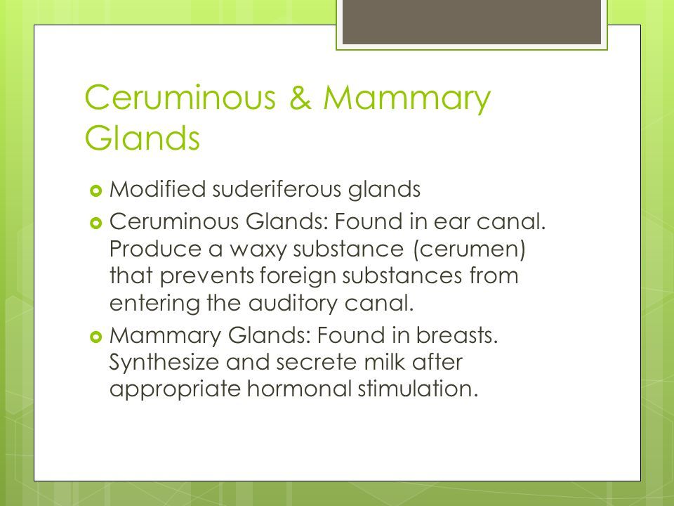 Ceruminous & Mammary Glands  Modified suderiferous glands  Ceruminous Glands: Found in ear canal.