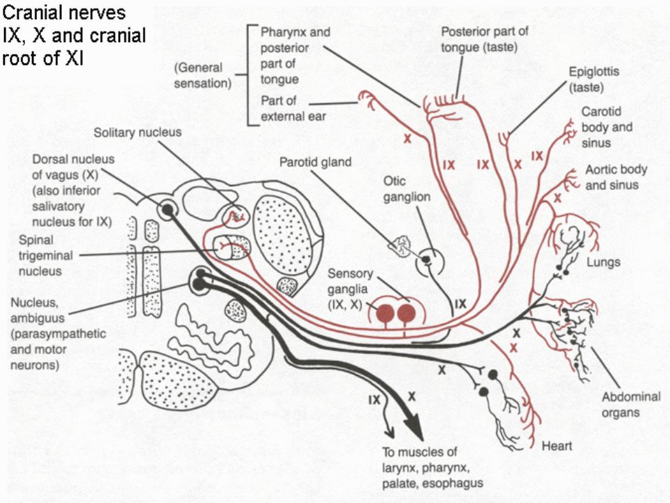 Hypoglossal Nerve Schematic - Block And Schematic Diagrams •