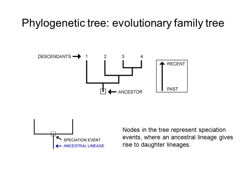 Of tree phylogenetic parts a Phylogenetic Tree: