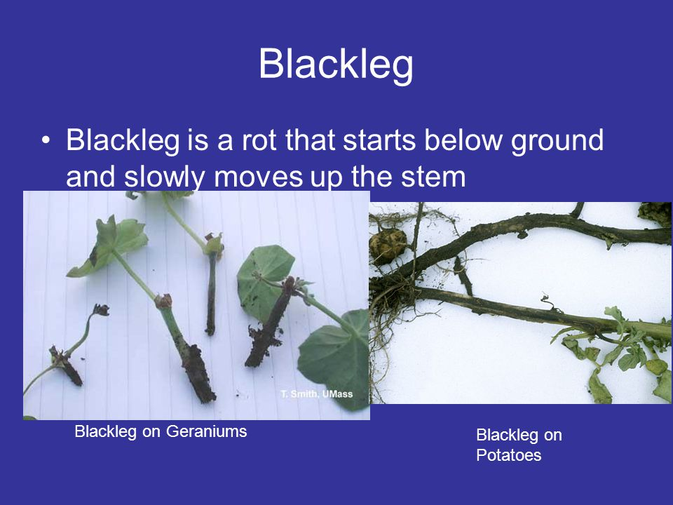 Blackleg Blackleg is a rot that starts below ground and slowly moves up the stem Blackleg on Geraniums Blackleg on Potatoes
