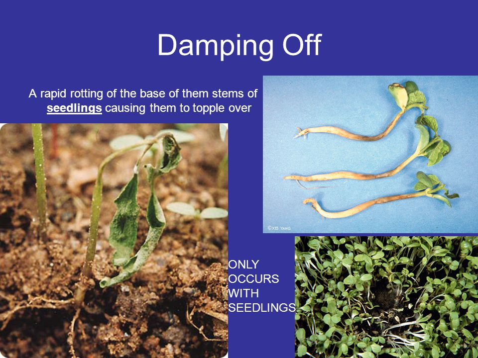 Damping Off A rapid rotting of the base of them stems of seedlings causing them to topple over ONLY OCCURS WITH SEEDLINGS