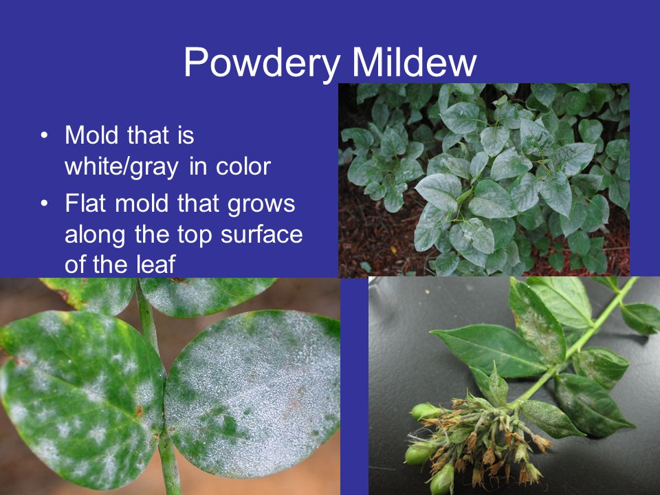 Powdery Mildew Mold that is white/gray in color Flat mold that grows along the top surface of the leaf