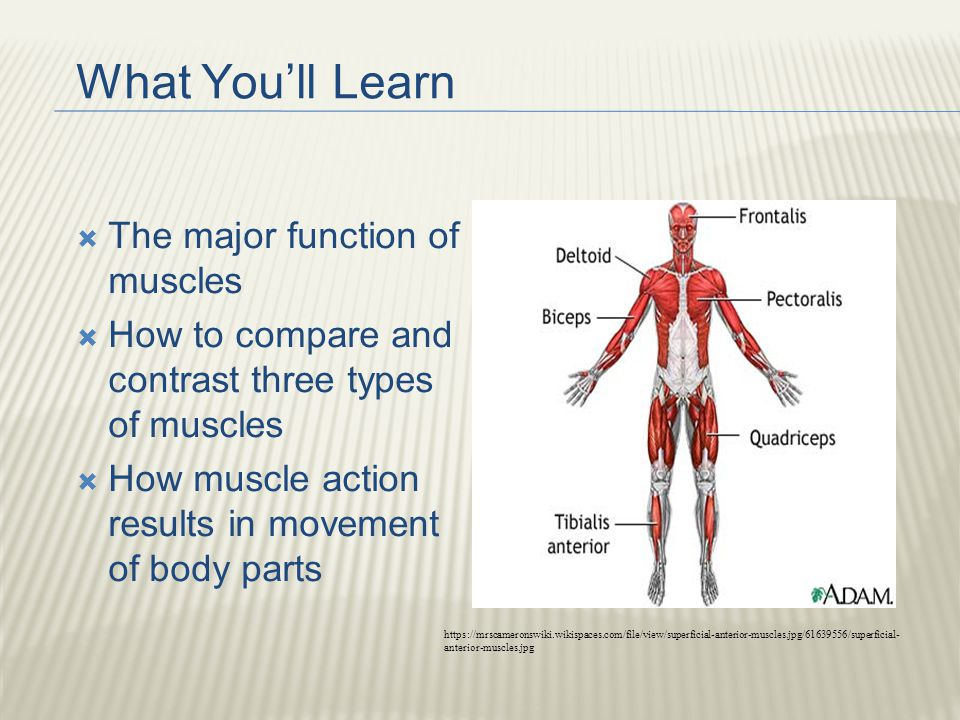 The Muscular system. What You\'ll Learn  The major function of ...