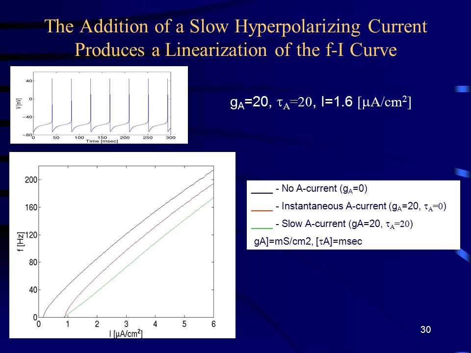 The Addition of a Slow Hyperpolarizing Current Produces a Linearization of the f-I Curve ____ - No A-current (g A =0) ____ - Instantaneous A-current (g A =20,  A =0 ) ____ - Slow A-current (gA=20,  A =20 ) [gA]=mS/cm2, [  A]=msec g A =20,  A =20, I=1.6 [  A/cm 2 ] 30