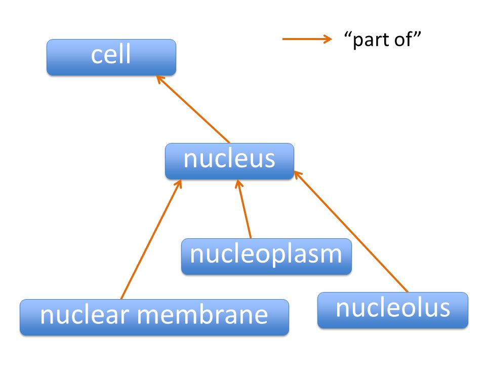 nucleus cell nuclear membrane nucleoplasm nucleolus part of