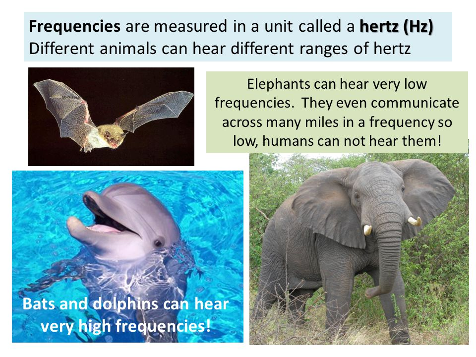 hertz (Hz) Frequencies are measured in a unit called a hertz (Hz) Different animals can hear different ranges of hertz Elephants can hear very low frequencies.
