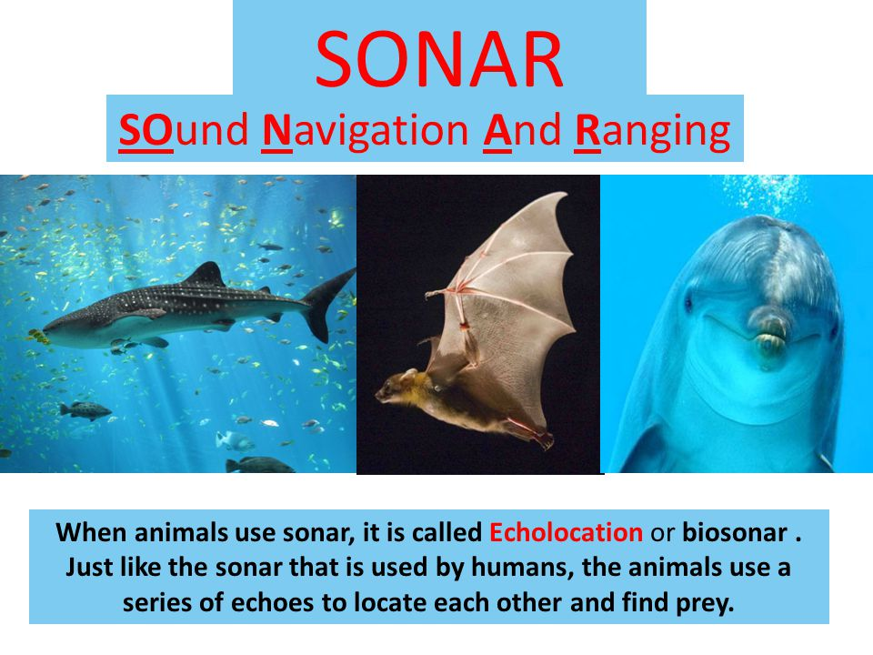 SONAR SOund Navigation And Ranging When animals use sonar, it is called Echolocation or biosonar.