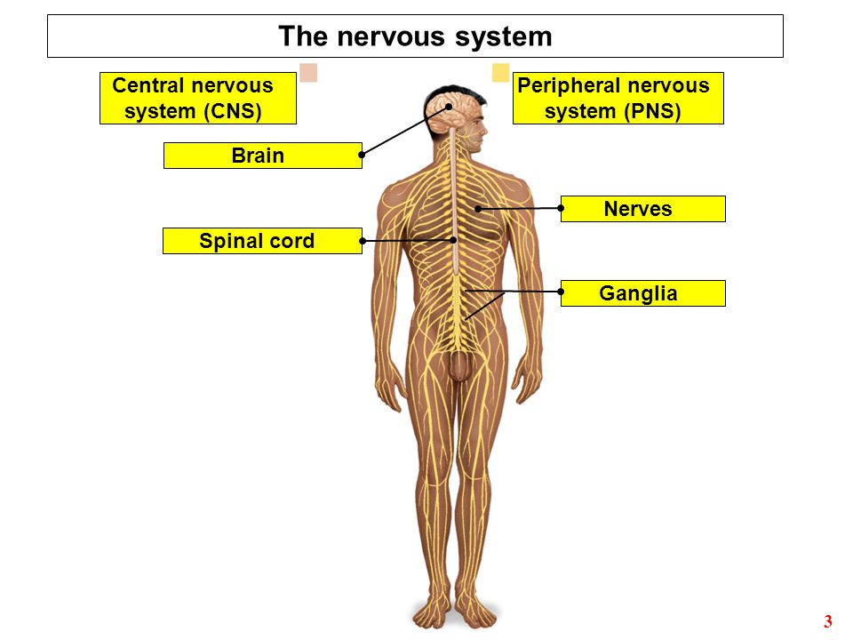 lab report nervous system Experiment: how fast your brain reacts to stimuli how fast do you think you are do you know what a reflex and a reaction are this lesson plan tells all about the quickness of your nervous system and the muscular system, which the nervous system innervates.