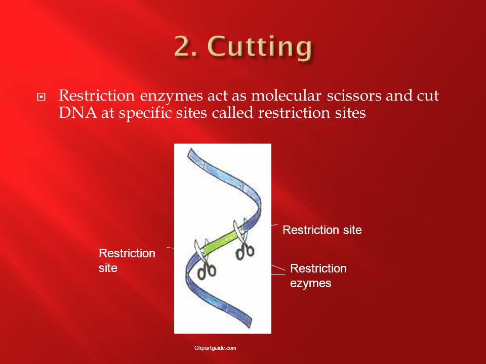  Restriction enzymes act as molecular scissors and cut DNA at specific sites called restriction sites Restriction site Restriction ezymes Clipartguide.com