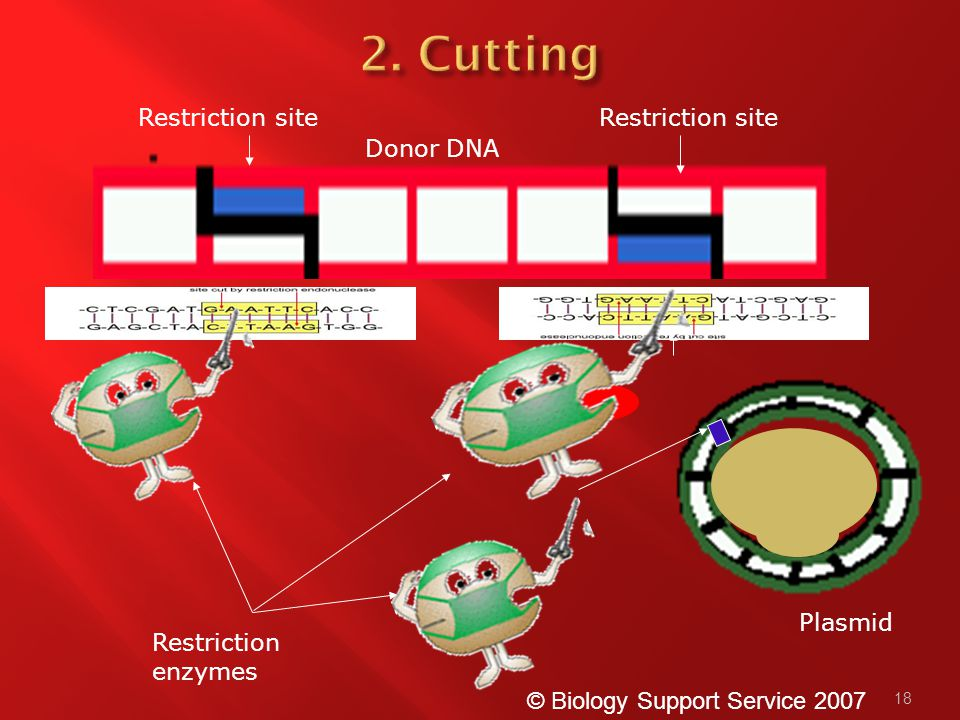 18 Plasmid Restriction site Donor DNA © Biology Support Service 2007 Restriction enzymes