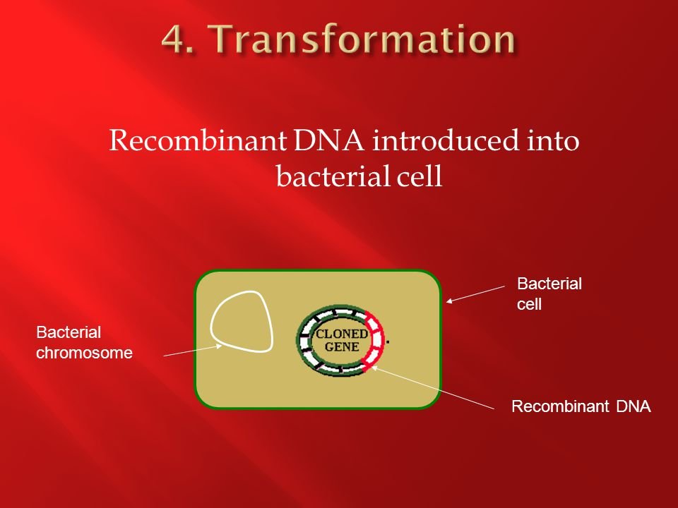 Recombinant DNA introduced into bacterial cell Bacterial chromosome Bacterial cell Recombinant DNA