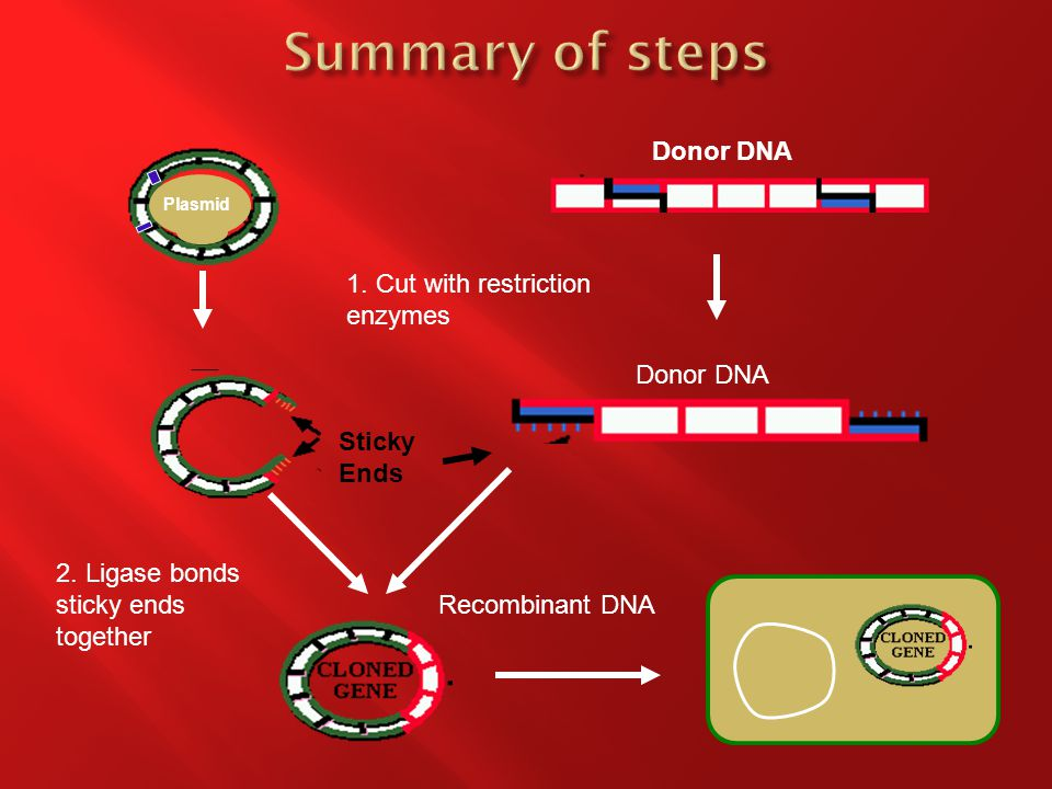 Donor DNA Plasmid 1. Cut with restriction enzymes Donor DNA Sticky Ends 2.