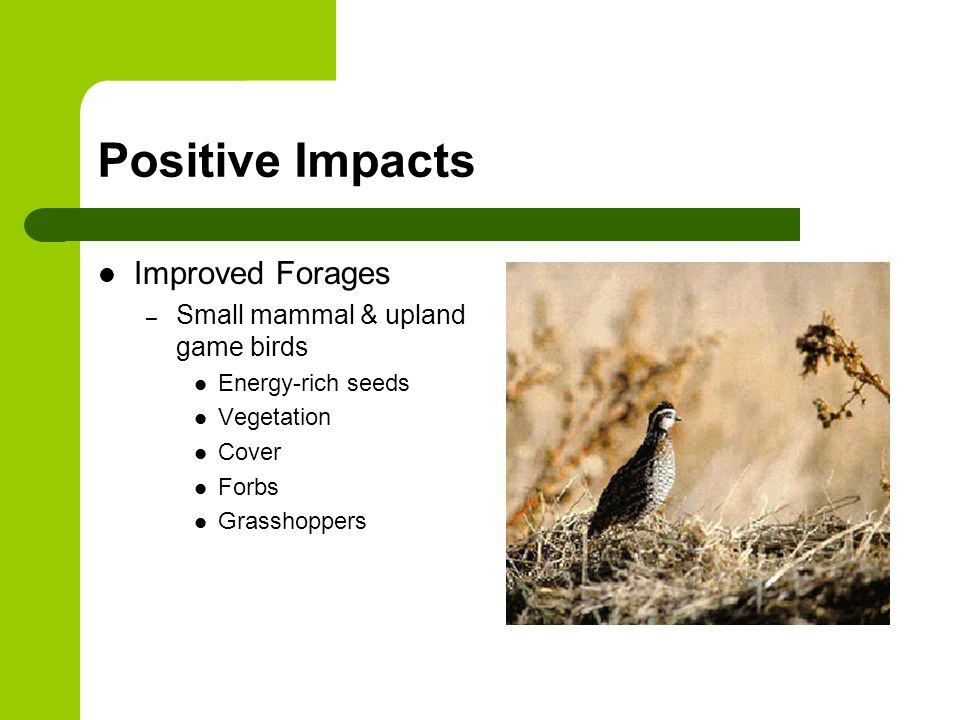 Positive Impacts Improved Forages – Small mammal & upland game birds Energy-rich seeds Vegetation Cover Forbs Grasshoppers
