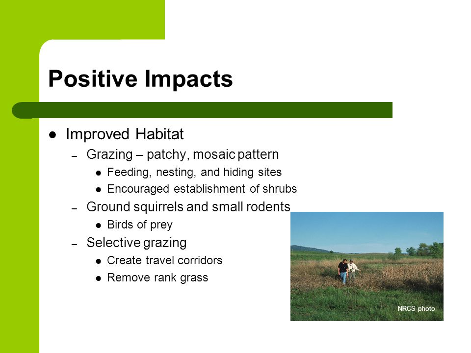 Positive Impacts Improved Habitat – Grazing – patchy, mosaic pattern Feeding, nesting, and hiding sites Encouraged establishment of shrubs – Ground squirrels and small rodents Birds of prey – Selective grazing Create travel corridors Remove rank grass NRCS photo