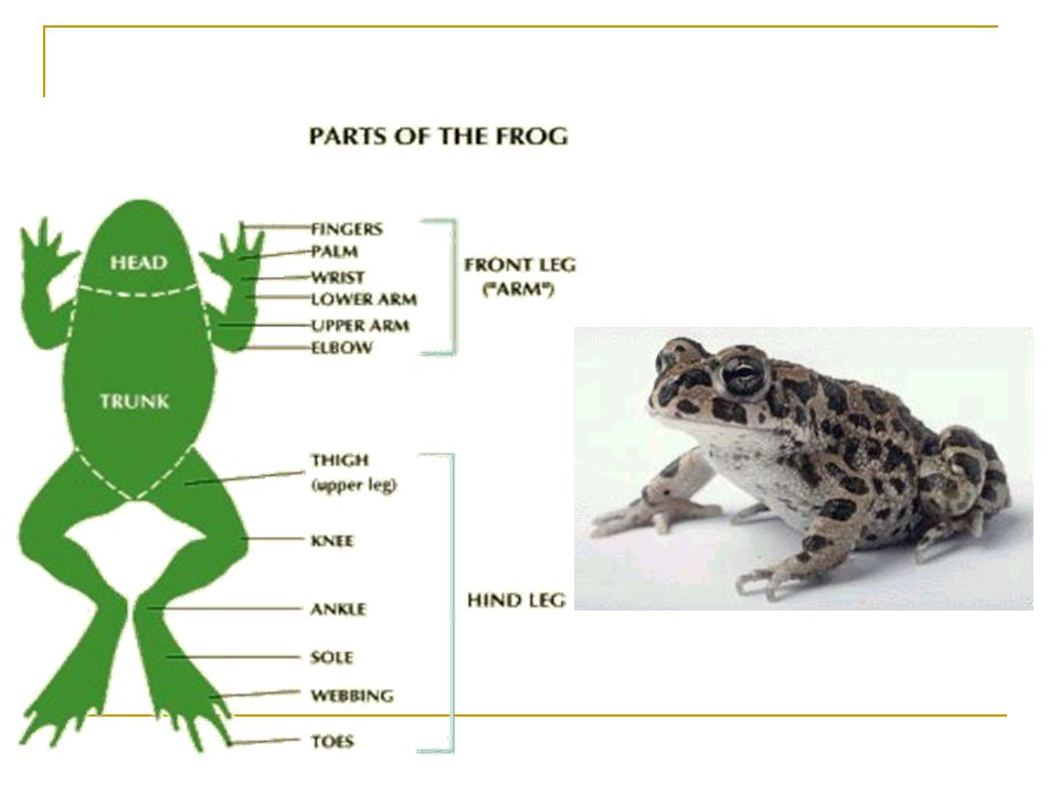 Amphibian Anatomy Ppt Video Online Download