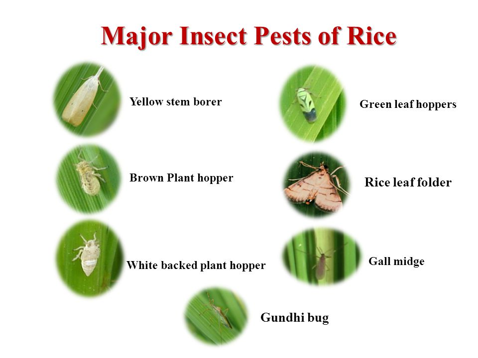 Icar Central Rice Research Institute Cuttack Odisha S D Mohapatra Effect Of Different Levels Of Nitrogenous Ppt Download