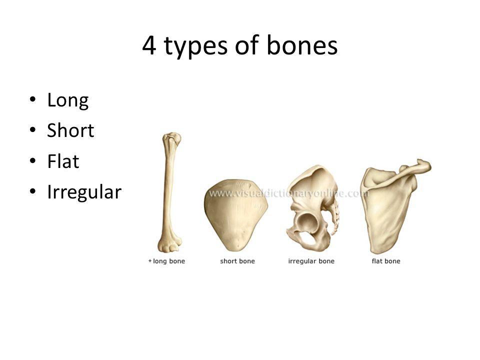 Types And Histology Of Bones Ch Types Of Bones Long Short Flat
