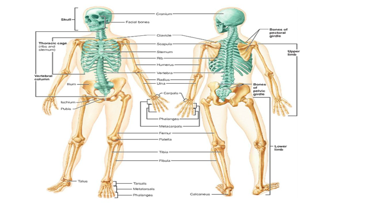 Essentials Of Human Anatomy And Physiology Diagrams - DIY ...