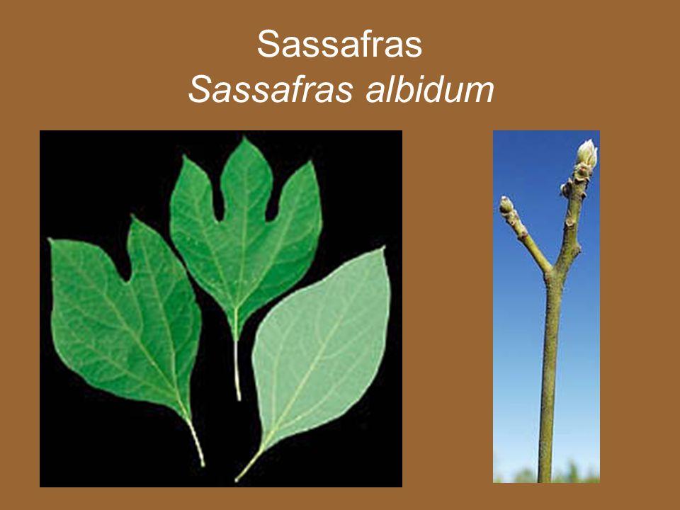 Sassafras Albidum Twig