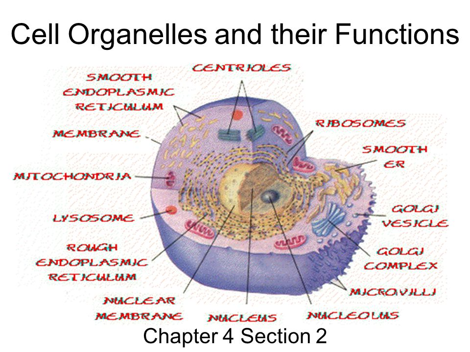 Cell Organelles And Their Functions Chapter 4 Section Ppt Download