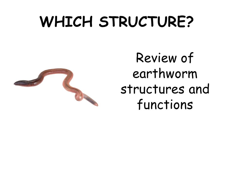 WHICH STRUCTURE? Review of earthworm structures and functions. - ppt ...