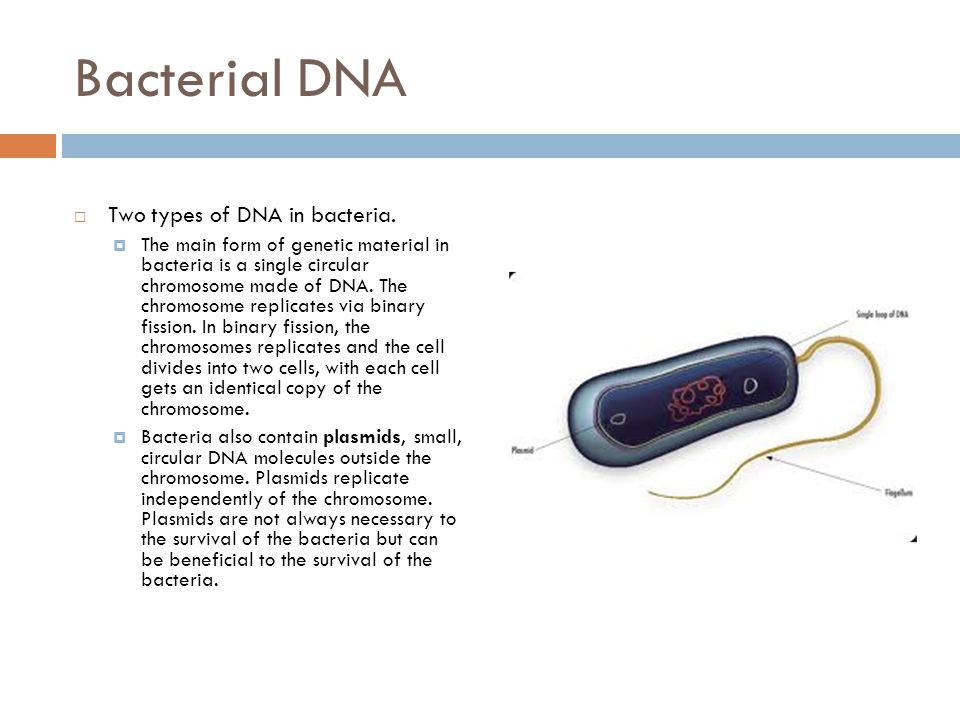 2 Bacterial DNA  Two types ...