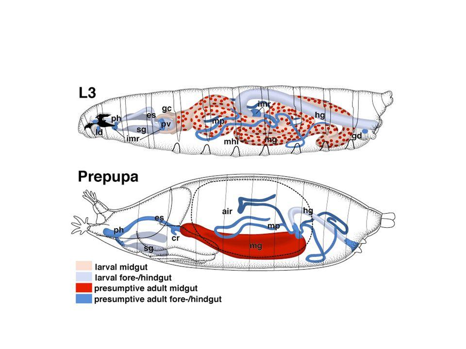Drosophila melanogaster Maggot Anatomy - ppt download