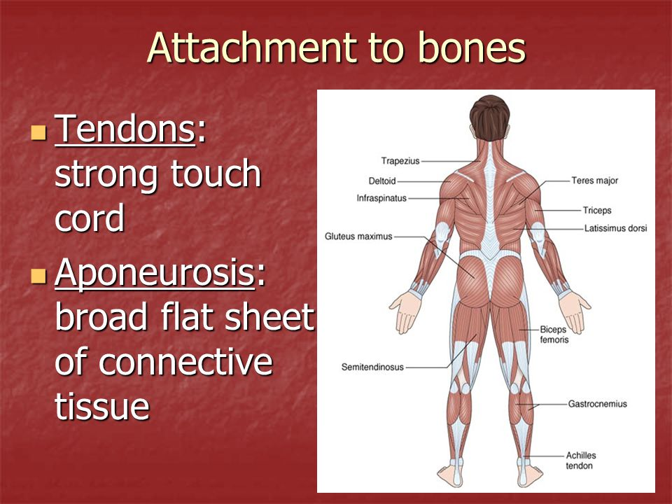 Anatomy of the Muscular System Anatomy & Physiology. - ppt download