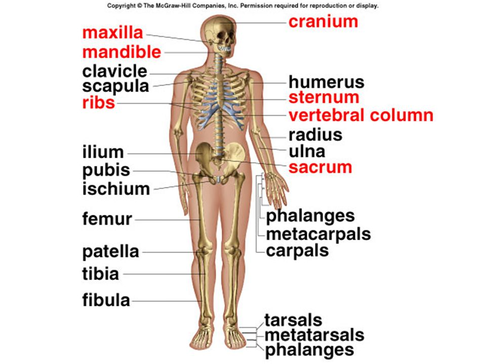 Skeletal And Muscular Systems Skeletal System The Framework For