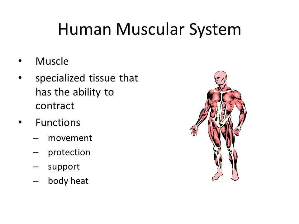 Human Muscular System Muscle specialized tissue that has the ability ...