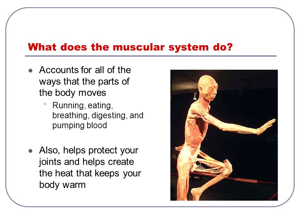 Muscular System Your muscular system moves all your moving parts ...