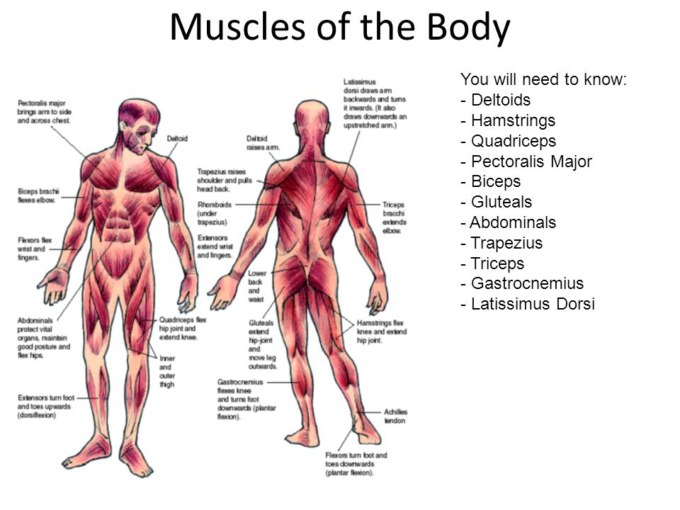 Muscular System. Week 4 - Overview of Muscular System The body has ...