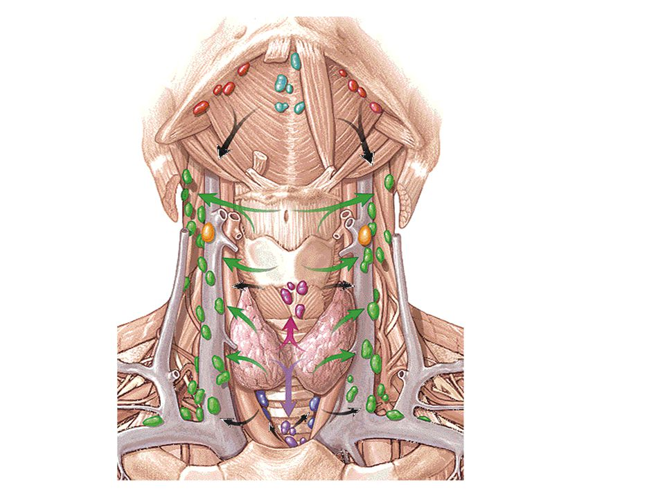 Anatomy Of The Neck By Dr Rasha Sabry Ppt Video Online Download