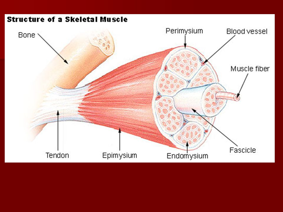 The Muscular System Anatomy & Physiology. Overview of Muscle Tissues ...