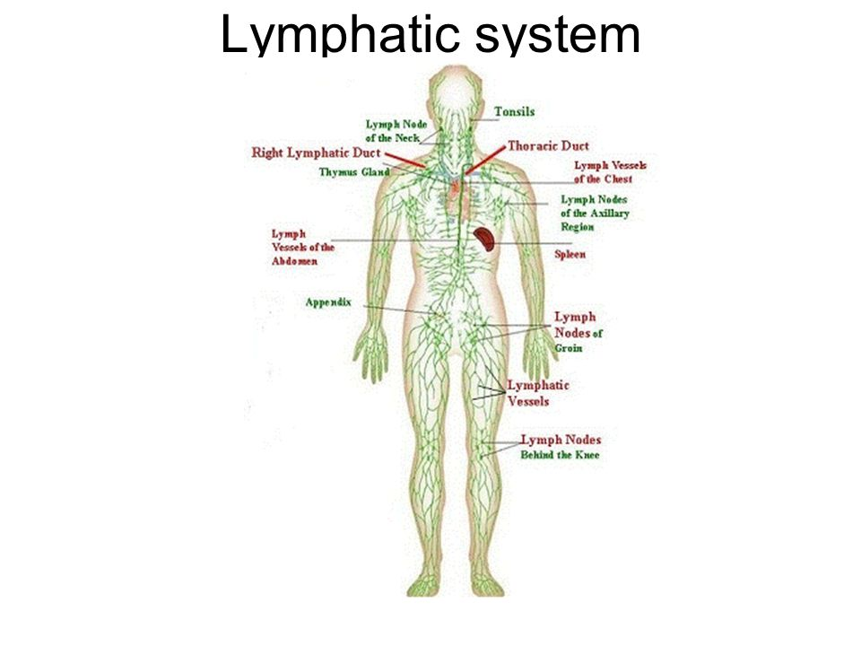 Lymphatic System Questions List The Organs And Structures Of The