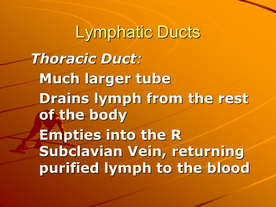 Lymphatic Ducts Thoracic Duct: Much larger tube Drains lymph from the rest of the body Empties into the R Subclavian Vein, returning purified lymph to the blood