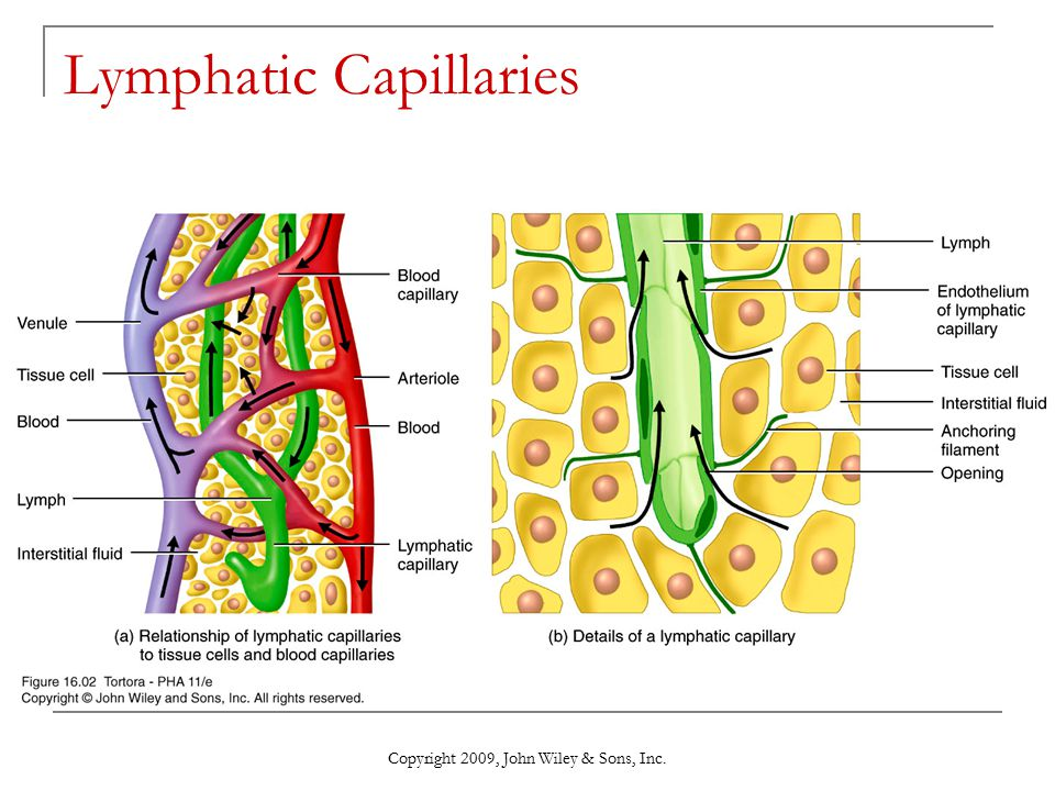 Copyright 2009 John Wiley Sons Inc Chapter 16 The Lymphatic