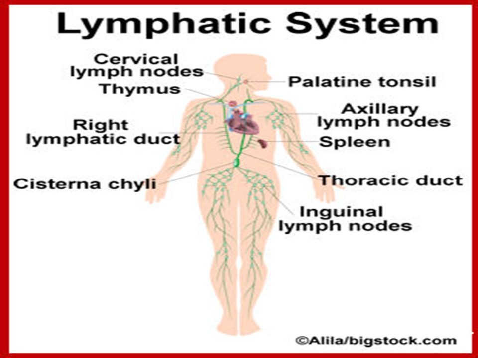 Lymphatic System Composed Of Lymph Lymphatic Vessels Lymph