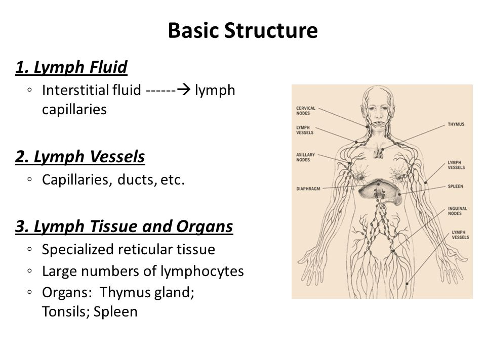 Basic Structure 1. Lymph Fluid ◦ Interstitial fluid  lymph capillaries 2.