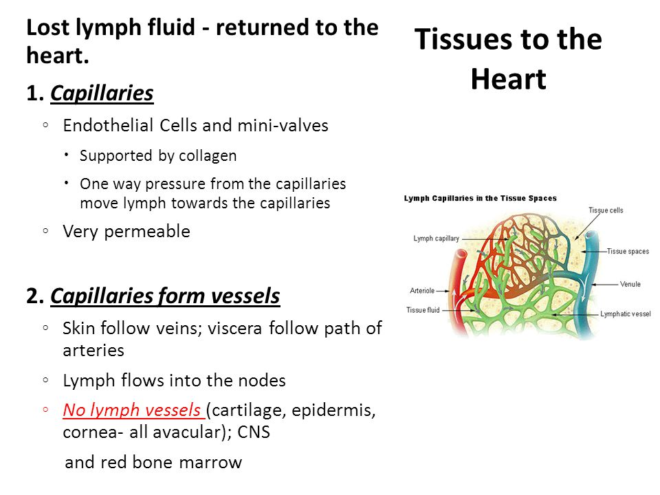 Tissues to the Heart Lost lymph fluid - returned to the heart.