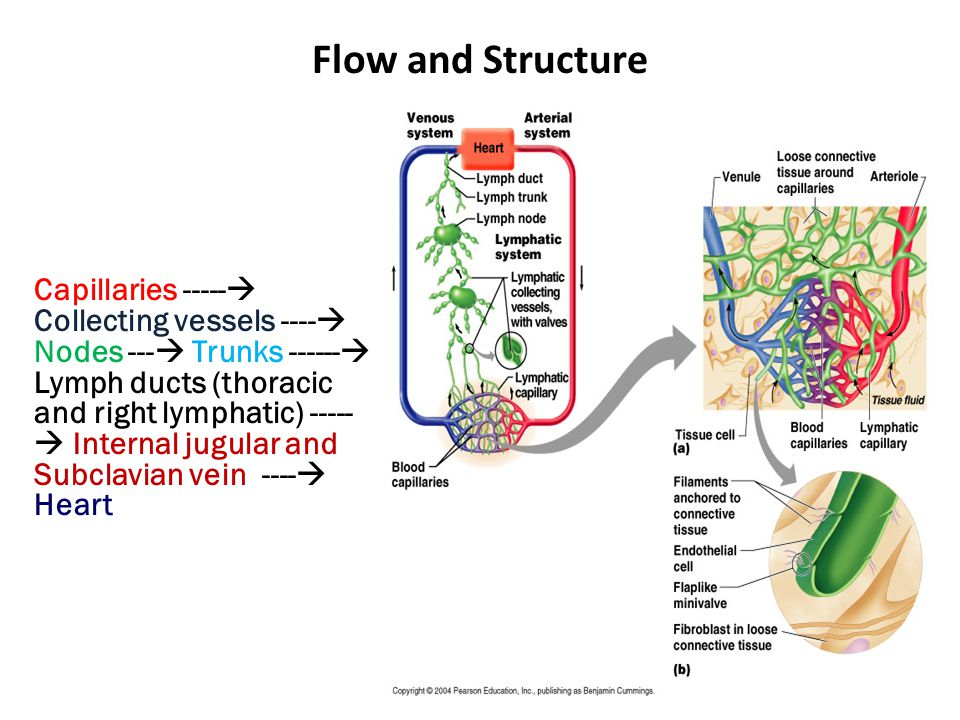 Flow and Structure Capillaries  Collecting vessels ----  Nodes ---  Trunks  Lymph ducts (thoracic and right lymphatic)  Internal jugular and Subclavian vein ----  Heart